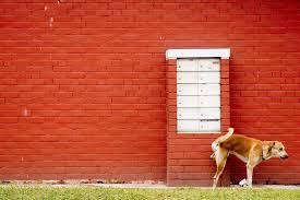 pipi perro